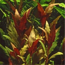 plantes tropica plante d aquarium tropica plantes d aquarium tropica aquaplante