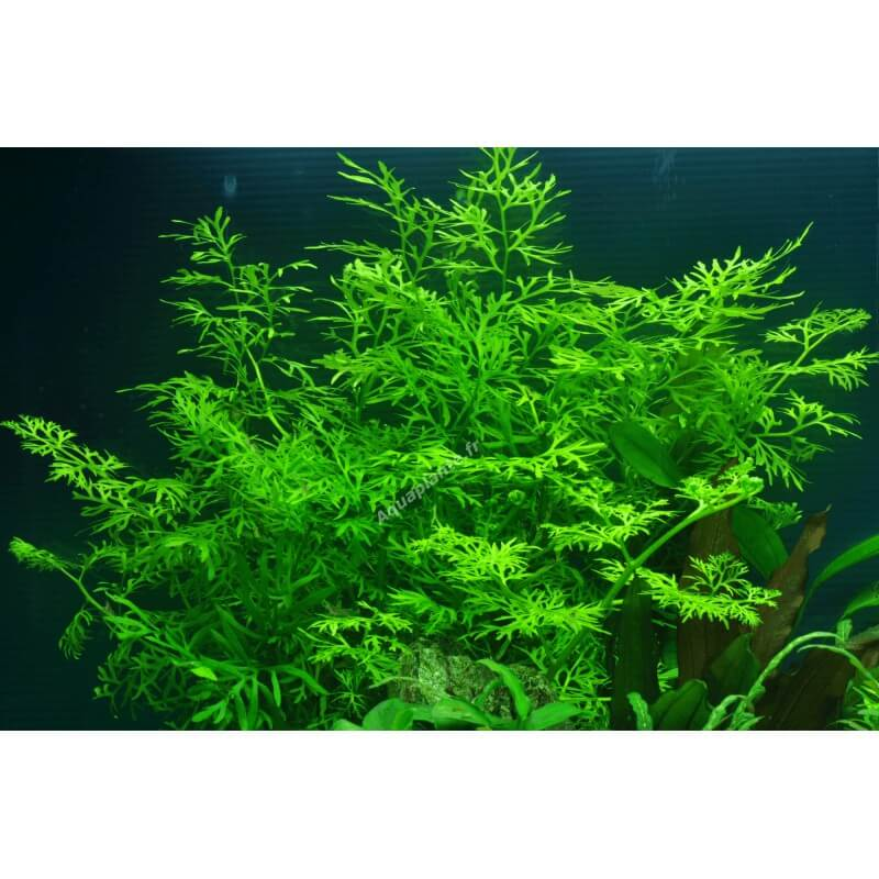plante ceratopteris thalictroides premium pour aquarium eau douce. Black Bedroom Furniture Sets. Home Design Ideas