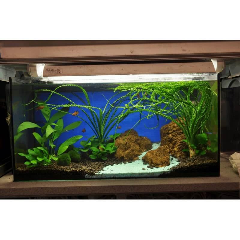 plante crinum calamistratum premium pour aquarium eau. Black Bedroom Furniture Sets. Home Design Ideas