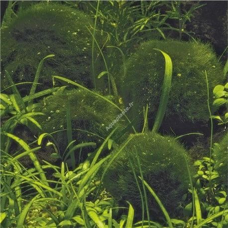 Cladophora Aegagrophila PREMIUM