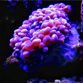 Physogyra lichtenchteinii purple Frag