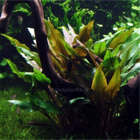 Cryptocoryne Undulata Broad Leaves