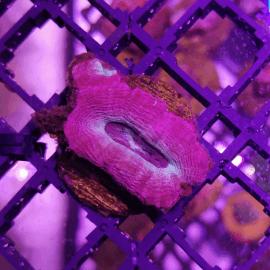 Acanthastrea bowerbanki Pink and Blue frag S N°1