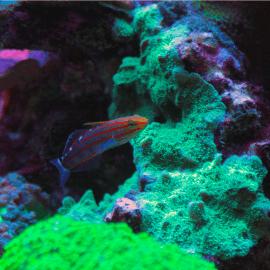 Koumansetta (Amblygobius) rainfordi - Gobie de Rainford M