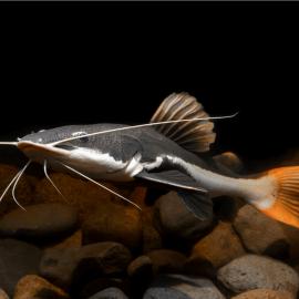 phractocephalus hemioliopterus - Poisson-chat à queue rouge 6-10cm