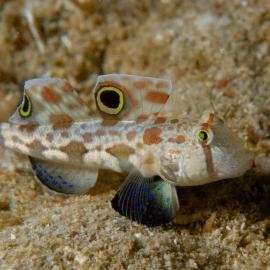Signigobius biocellatus - Gobie à deux ocelles M-L