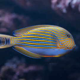 Acanthurus lineatus - Chirurgien rayé S