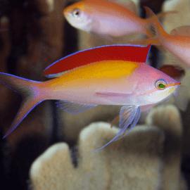 Pseudanthias dispar - Anthias pêche M