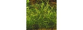 Echinodorus Tenellus (Cultivé en immersion) PREMIUM