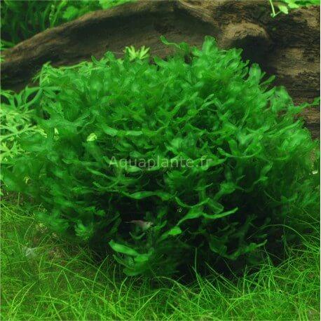Monosolenium Tenerum premium