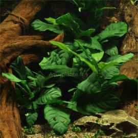 Anubias Barteri Coffeefolia PREMIUM