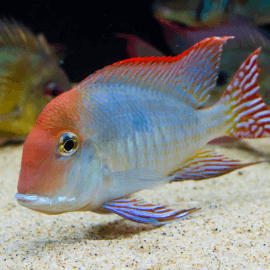 Geophagus sp. red head Tapajos - Elevage Taïwan 6-8cm