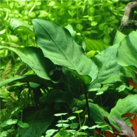 Anubias Barteri Caladiifolia 1705 Pied Mère Tropica