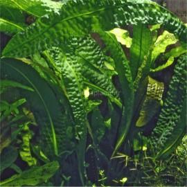 Aponogeton Boivinianus PREMIUM