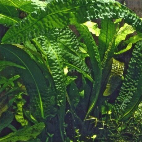 Aponogeton Boivinianus en pot