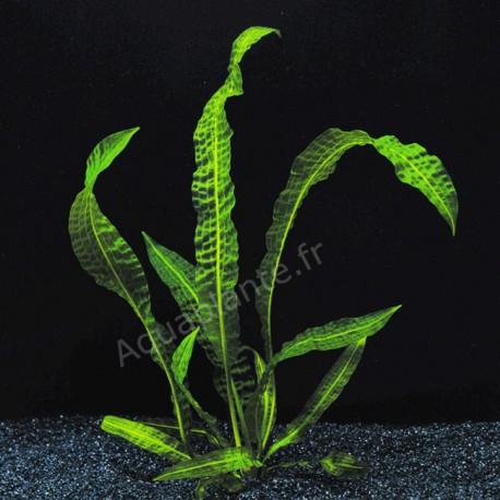 plante aponogeton boivinianus pour aquarium eau douce. Black Bedroom Furniture Sets. Home Design Ideas