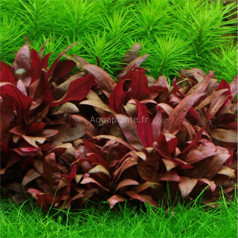 Plantes d 39 aquarium in vitro alternanthera reineckii mini in vitro pour aquarium eau douce - Plantes d aquarium eau douce ...