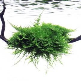 Vesicularia Dubyana Christmas Moss PREMIUM