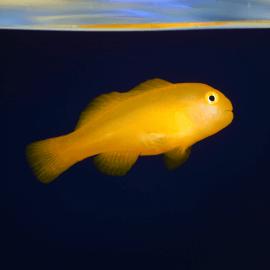 Gobiodon okinawae -  Gobie corail jaune M