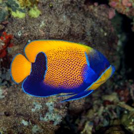 Pomacanthus navarchus - Poisson-ange amiral M