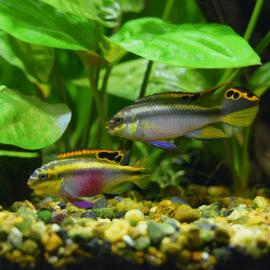 Pelvicachromis pulcher L-XL couple