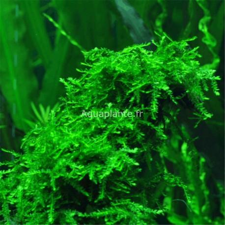 Vesicularia Ferriei Weeping Moss