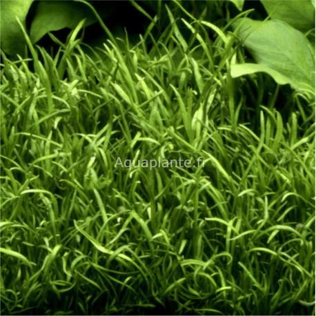 Lilaeopsis Brasiliensis Tropica