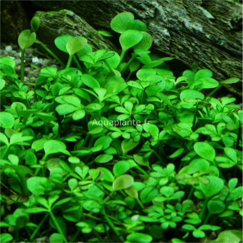 Plantes plantes d 39 aquarium gazonnantes marsilea hirsuta pour aquarium eau douce 5 4 - Plantes d aquarium eau douce ...