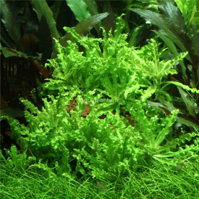 plantes plantes d 39 aquarium gazonnantes pogostemon. Black Bedroom Furniture Sets. Home Design Ideas