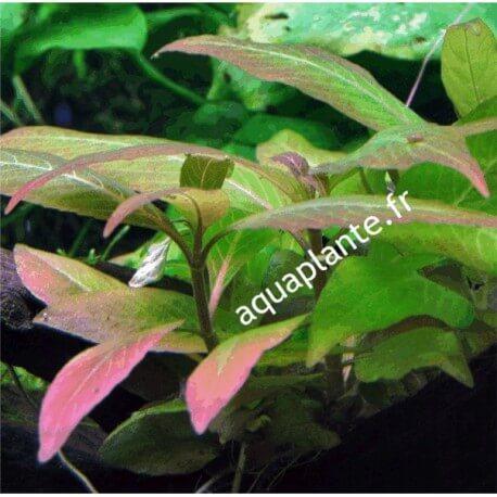 Hygrophila Corymbosa Compact PREMIUM