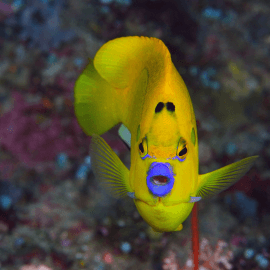 Apolemichthys trimaculatus - Poisson-ange à trois taches M-L