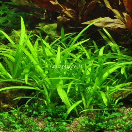 plantes plantes d 39 aquarium gazonnantes sagittaria subulata premium pour aquarium eau douce. Black Bedroom Furniture Sets. Home Design Ideas