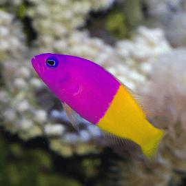Pictichromis (Pseudochromis) paccagnella - Vanille-Fraise M