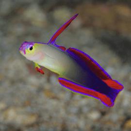 Nemateleotris decora - poisson-fléchette décoré M-L