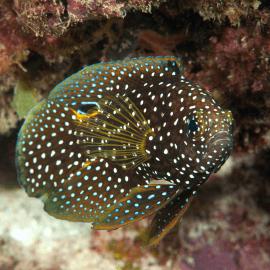 Calloplesiops altivelis - Poisson-comète à grandes nageoires M