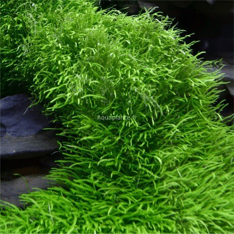 plantes plantes d 39 aquarium gazonnantes utricularia. Black Bedroom Furniture Sets. Home Design Ideas