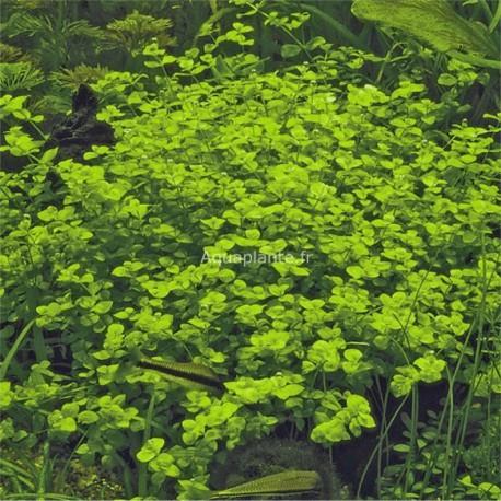 Micranthemum Ambrosum