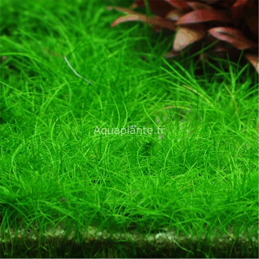 plante aquatique guadeloupe