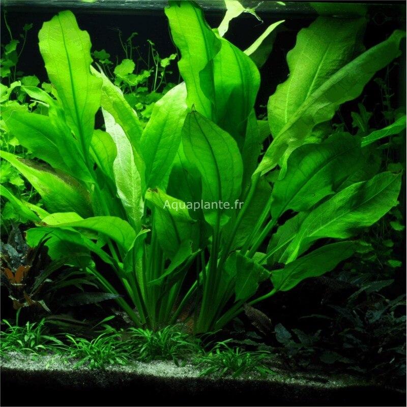 plante milieu plan d 39 aquarium echinodorus bleheri pour aquarium eau douce. Black Bedroom Furniture Sets. Home Design Ideas