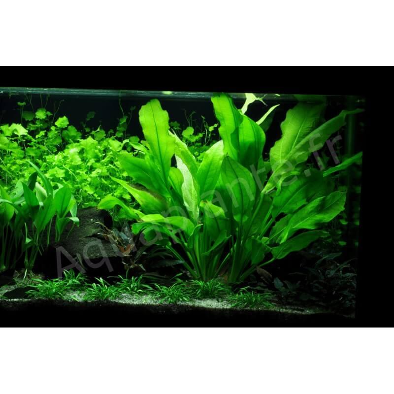 plante milieu plan d 39 aquarium echinodorus bleheri pour. Black Bedroom Furniture Sets. Home Design Ideas