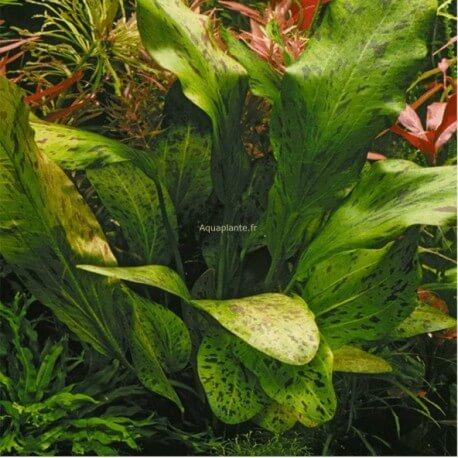 Echinodorus Ozelot Green PREMIUM