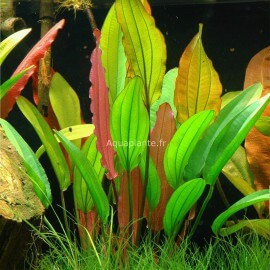 Echinodorus Red Diamond Tropica
