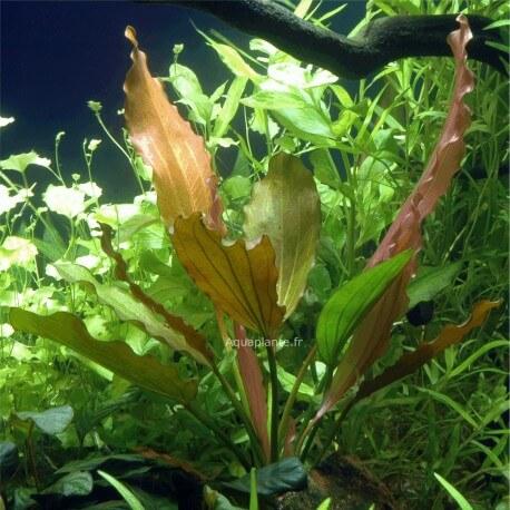 Echinodorus Rosé PREMIUM