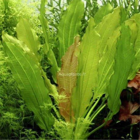 Echinodorus Osiris (Rubra) Tropica