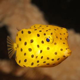Ostracion cubicus - Poisson-coffre jaune S