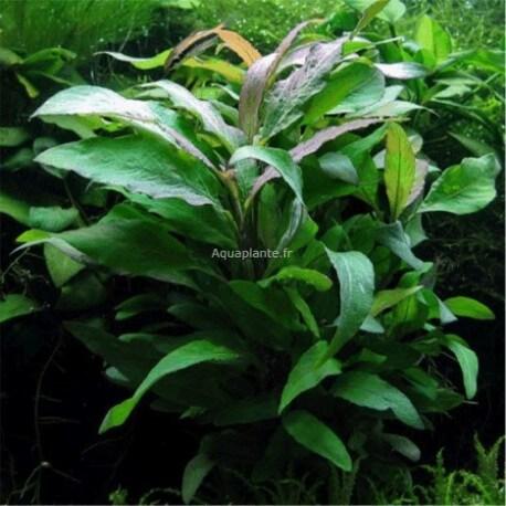 Hygrophila Corymbosa Siamensis 53B