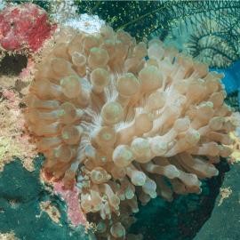 Entacmaea quadricolor beige - Anémone bulle XS