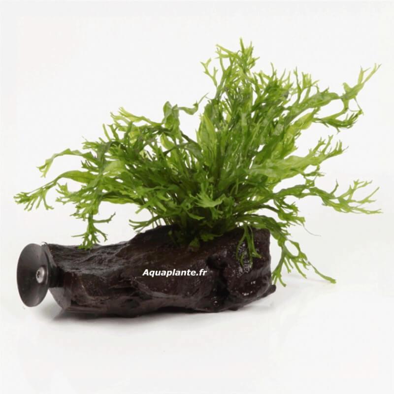 Plantes d 39 aquarium sur support microsorum windelov sur racine avec ventouse taille nano pour
