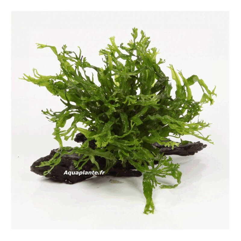 plantes d aquarium sur support microsorum windelov sur racine taille nano pour aquarium eau