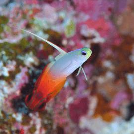 Nemateleotris magnifica - poisson-fléchette de feu M